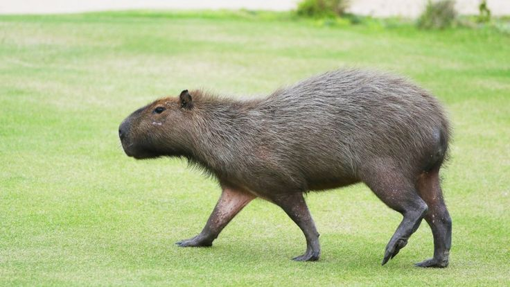 Capybaras live on the Olympic golf course in Rio.