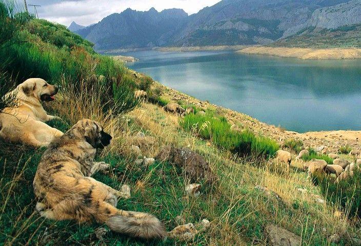 Perros mastines. Si quieres saber más, visita: http://www.fundacioaurora.com/isladevancouver/?portfolio=la-naturaleza