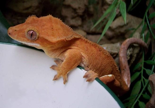 The crested gecko, or or eyelash gecko (Correlophus ciliatus), is native to southern New Caledonia. Its name refers to the crest of skin over the eyes that resembles an eyelash. The tail of this gecko can be shed as protection but, unlike some other geckos, once a tail is lost it will not grow back. The crested gecko is popular in the pet trade.
