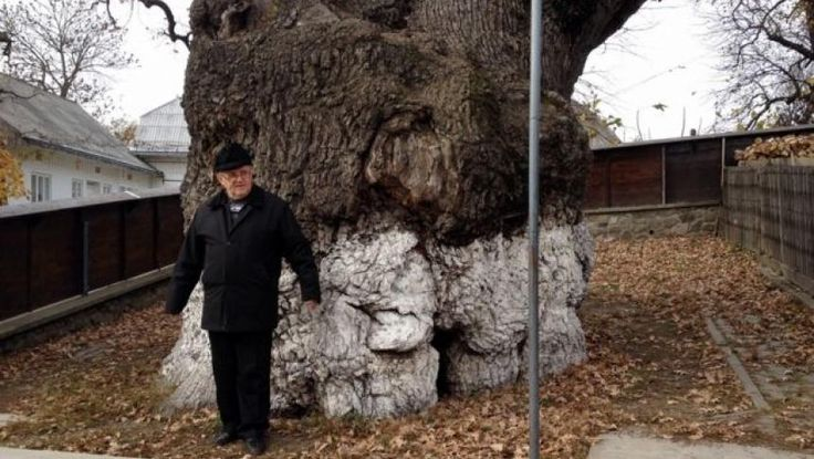 Legenda celui mai bătrân stejar din sud-estul Europei, plantat după marea invazie tătară, la umbra căruia s-a odihnit Ştefan cel Mare | Historia