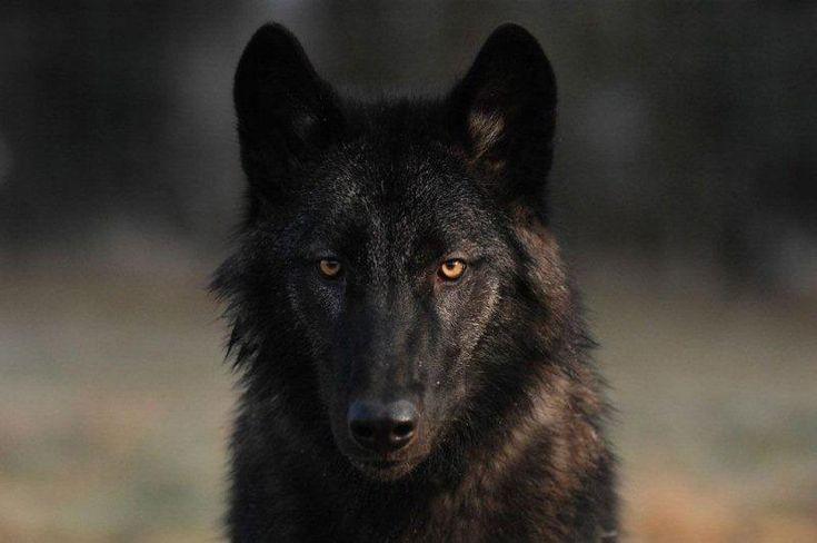 Black wolf dog,                                                       …