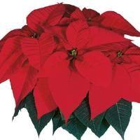 Christmas Feelings Red Poinsettia
