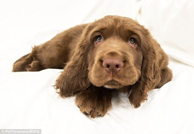 Sussex spaniel: These golden-brown gun dogs have a companionable temperament. First bred in 1795 in Hastings for hunting, during World War II they nearly became extinct as breeding programmes were discouraged to save food. As few as five survived. Numbers rose to 74 registered with the Kennel Club in 2012 after a campaign, but last year this fell to 49. Even becoming a mascot for menswear label Hackett doesn't seem to have helped