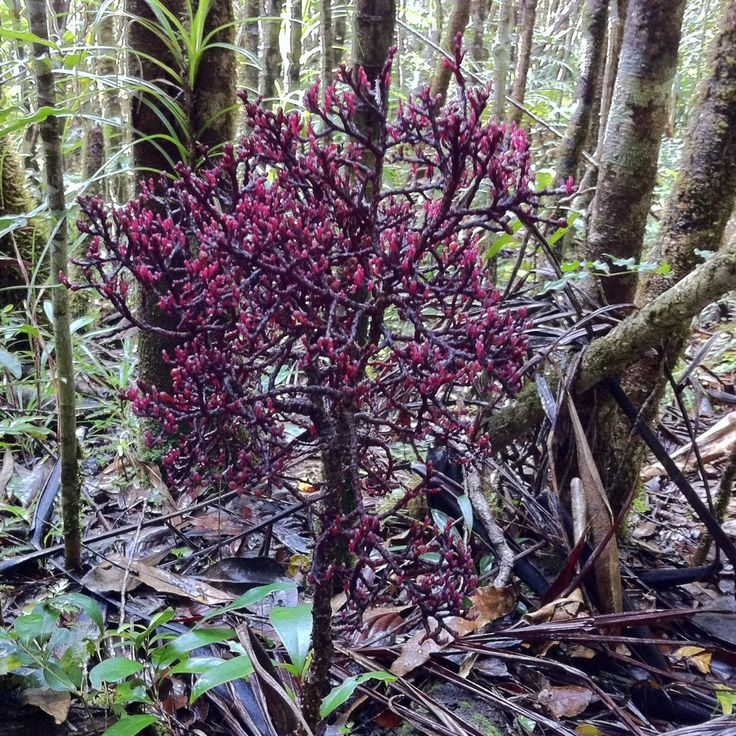 Asian parasitic leafless plants believe