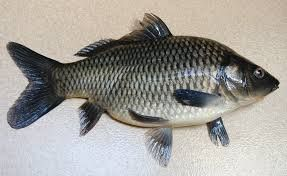 Info Ikan: 5 Jenis Ikan Konsumsi Air Tawar Yang Sering Dibudi...