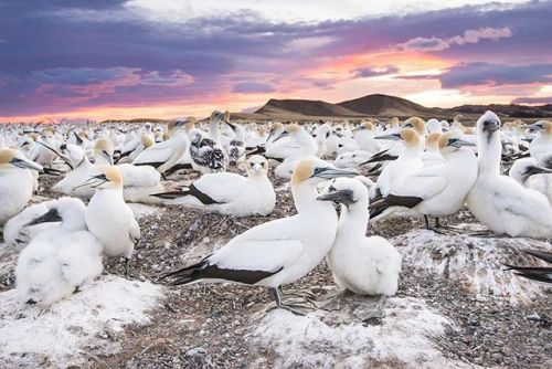 Lauren Buchholz takes us behind the shot of her image The Colony At the Edge of the World in the January/February issue. Learn more about these Australasian gannets photographed at Hawkes Bay New Zealand.    #OPJanFeb #landscape_lovers #sky_captures #landscapephotography #fantastic_earth #landscape_captures #ic_landscapes #ig_exquisite #ourplanetdaily #landscapelovers #instanaturelover #welivetoexplore #allnatureshots #specialshots #landscapestyles #birdphotography #wildlifephotography…