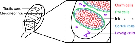 Structure of the early fetal testis. A 13.5 dpc mouse testis showing the developing testis cords (left). The testis is adjacent to the mesonephros, which contains the Wolffian duct. Enlargemed area (rectangle) shows the cellular organization of the testis (right). Clusters of germ cells (red) are enclosed by the supporting Sertoli cells (blue) and a layer of peritubular myoid cells (PM cells, green). Steroidogenic Leydig cells (purple) reside in the interstitium between the testis cords.