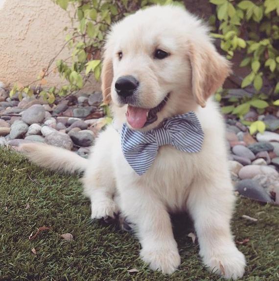 Golden Retriever Puppy In 2020 Preppy Dog Preppy Dog Collar Custom Dog Collars