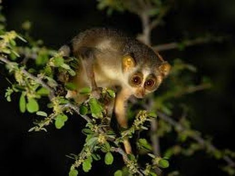 Animales Nocturnos de Africa | Documentales National Geographic en Español