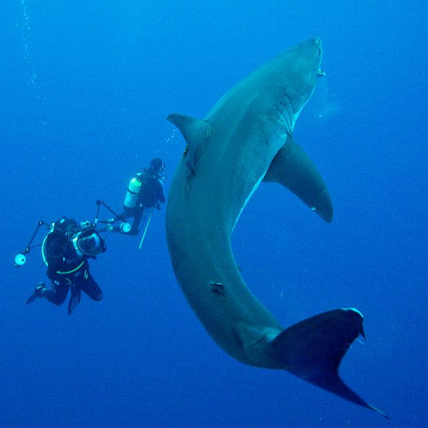 Yes please, thank you. I would do this in four milliseconds if I could.   Divers swim with great white sharks off the coast of Mexico - Telegraph