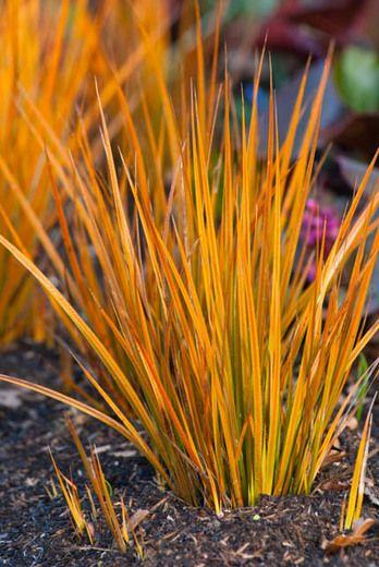 Libertia Peregrinans, Full Bloom Mikoikoi, Wandering Chilean Iris, New Zealand Iris, Gold-Leaf New Zealand Iris, Orange Libertia