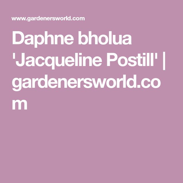 Daphne bholua 'Jacqueline Postill' | gardenersworld.com