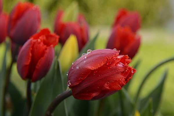 die 25 besten ideen zu rote tulpen auf pinterest tulpen in der vase lila tulpen und tulpe. Black Bedroom Furniture Sets. Home Design Ideas