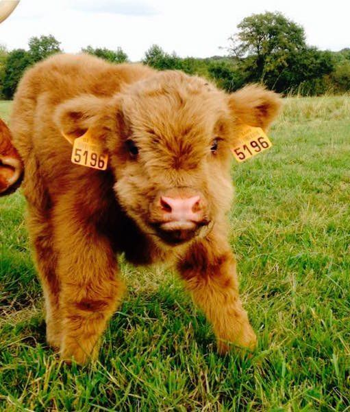 Because baby cows are seriously the cutest ever