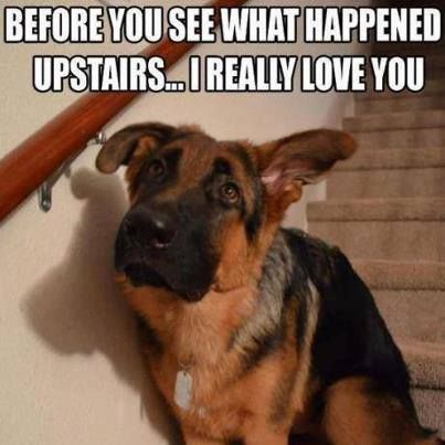 79 best images about German Shepherds on Pinterest | Cats ...