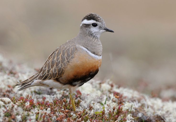 Dovrefjell og Rondane - BIRDWATCHING NORWAY - guided tours, photo hides and self-guided birding, in Norway
