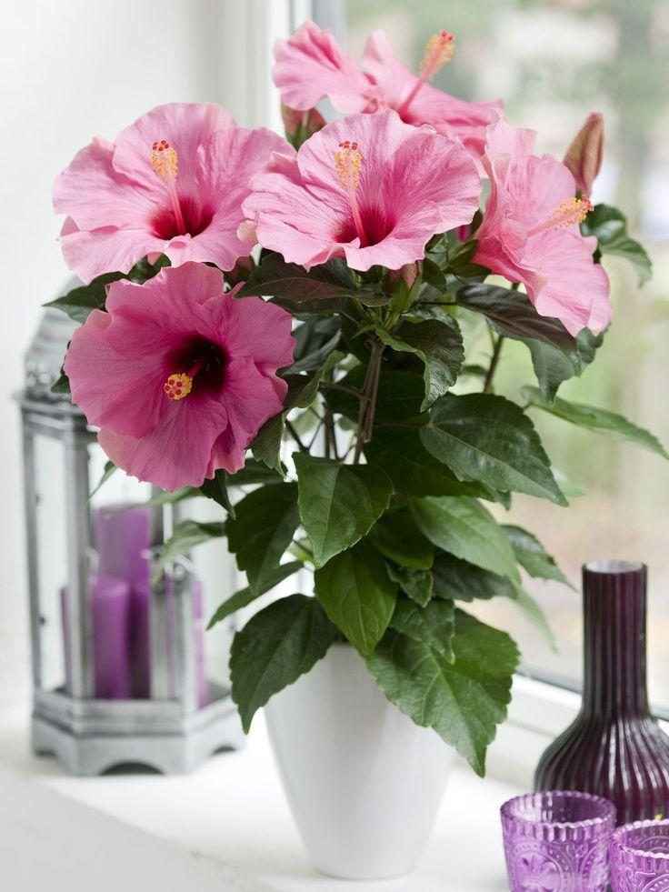 очень красивые комнатные цветы фото и названия представить без