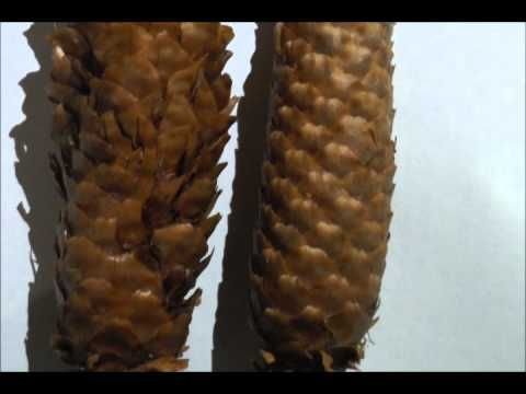 Nahosemenné rostliny 1 - YouTube