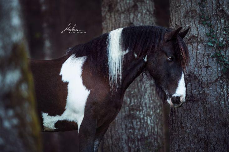 Tinker steht zwischen Bäume im Wald | Schecke | Pferd | Bilder | Foto | Fotografie | Fotoshooting | Pferdefotografie | Pferdefotograf | Ideen | Inspi…