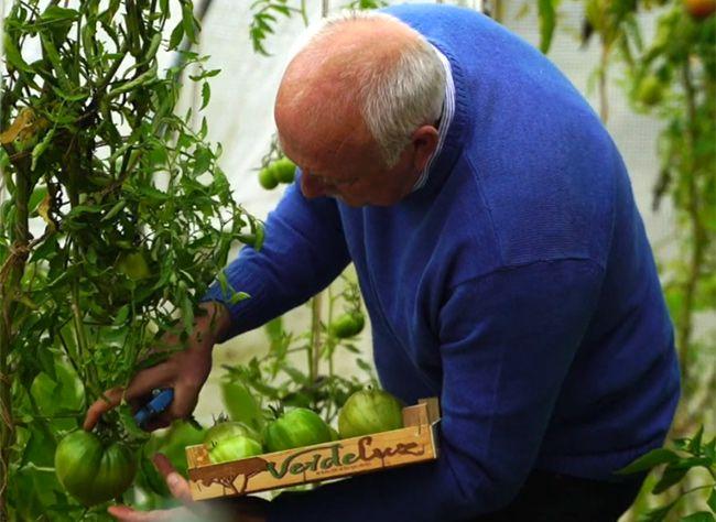 Il reste des tomates vertes sans la serre ou sous le tunnel ? Comment les faire mûrir pour les manger jusqu'à la dernière !