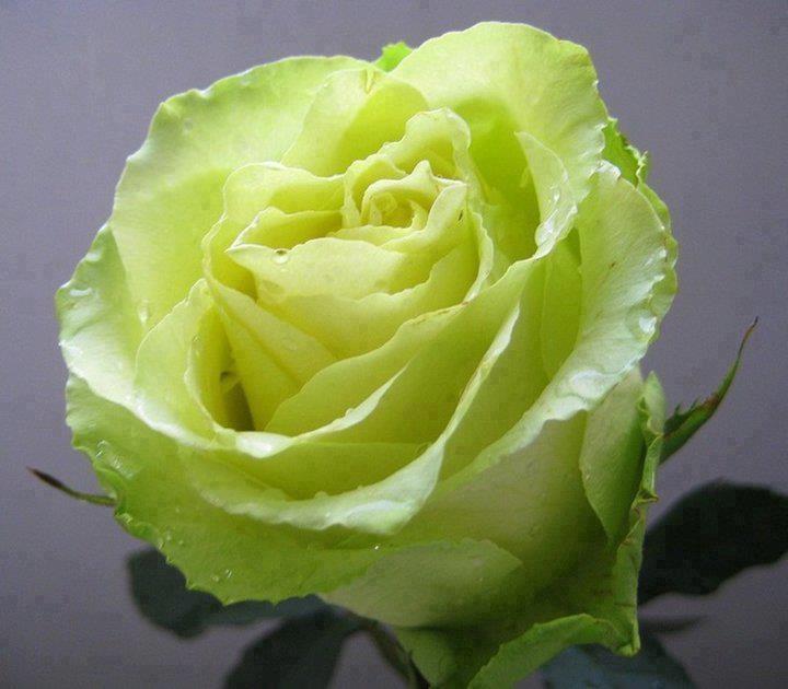 1000 images about green roses on pinterest flower. Black Bedroom Furniture Sets. Home Design Ideas