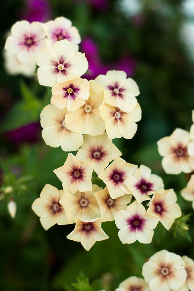 """Annual (Phlox drummondii) Germ 10-21 days Creamy caramel petals with varying light to dark cherry colored centers gather on top the long 18"""" stems, ideal for cutting. Stunning color combination for a"""