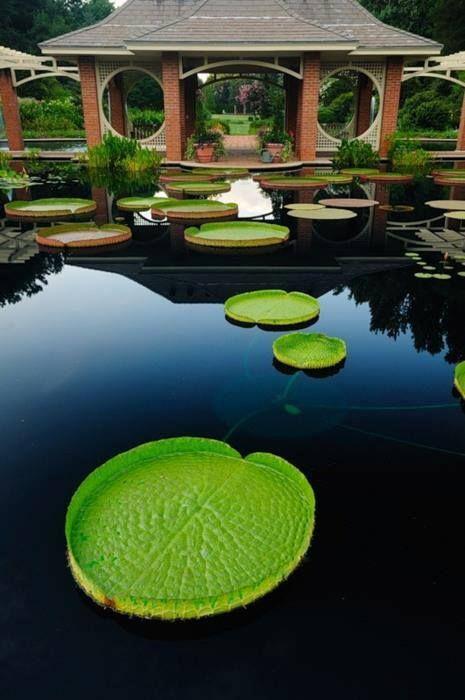 Se llaman VictoriaRegias y las puedes ver en Amazonas (Colombia)