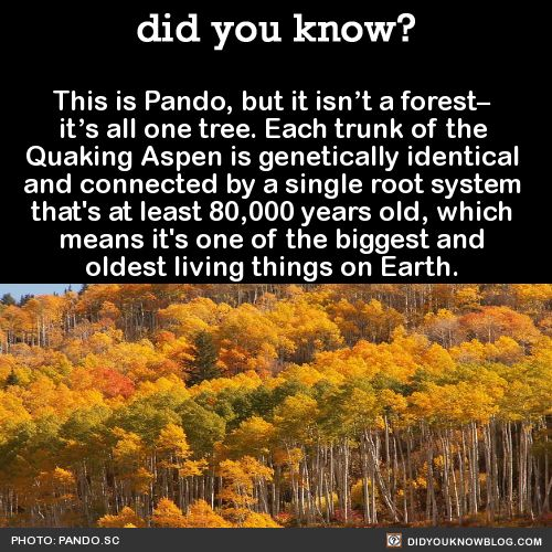 This is Pando, but it isn't a forest– it's all one tree. Each trunk of the Quaking Aspen is genetically identical and connected by a single root system that's at least 80,000 years old, which means it's one of the biggest and oldest living things on...