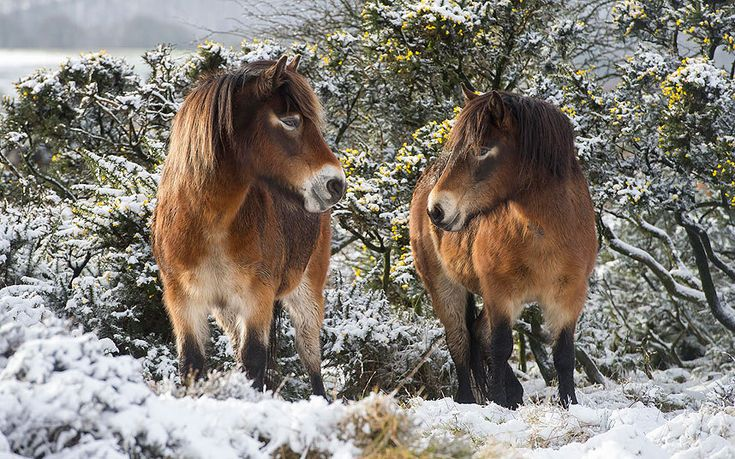 Exmoor ponies enjoy the first snowfall of the year on open moorland, Somerset