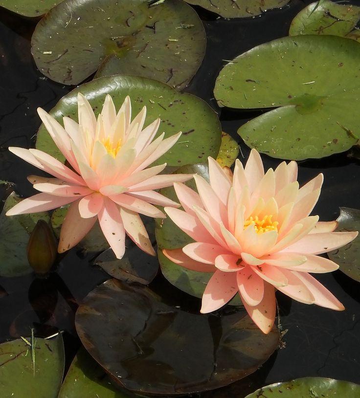 Pond Plants Online - Peach/Orange Hardy Water Lilies