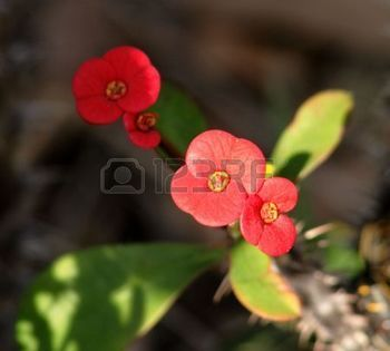 spurge plant: Close up of the bracts on a crown of thorns (Desert Rose) plant Stock Photo