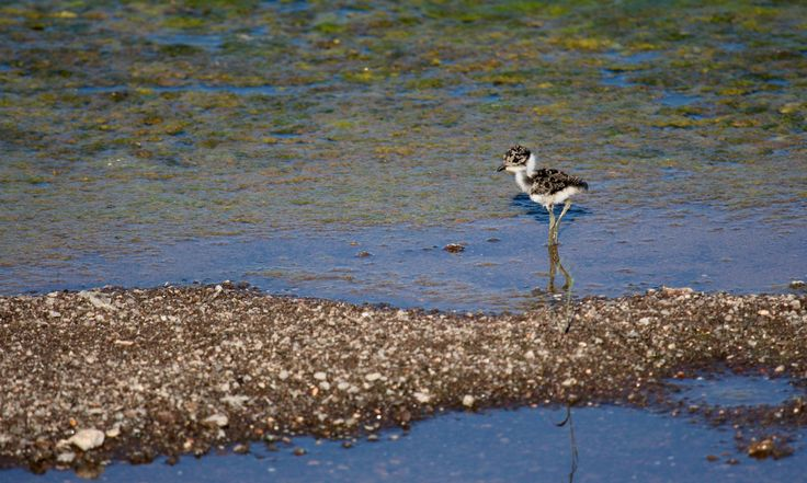 Baby Plover...camouflaged well! - null