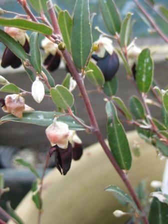 Partial shade - Gastrolobium sericeum • Australian Native Plants Nursery • Plants • 800.701.6517