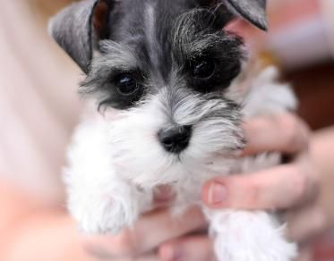 Salt and Pepper parti teacup schnauzer http://toyschnauzersrus.com/