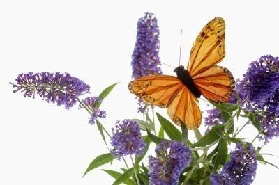 Butterfly Bush Care & Maintenance thumbnail