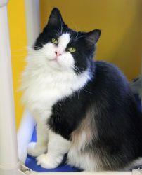 Adopt A Black Kitten Kansas City