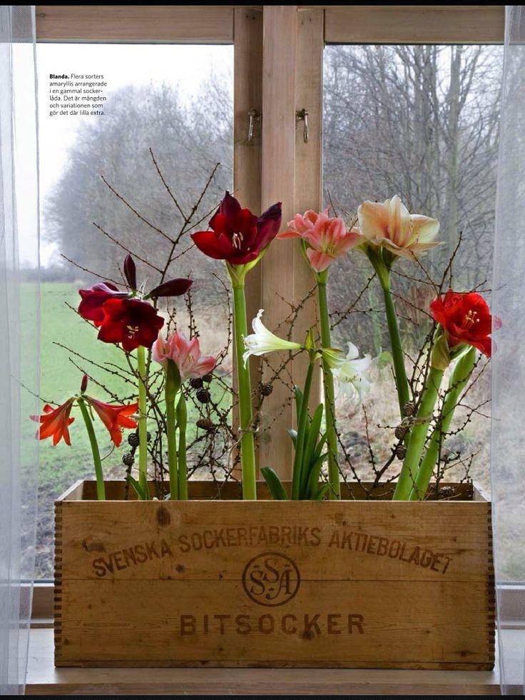 Fint I Jul Amaryllis Pinterest Flowers Christmas