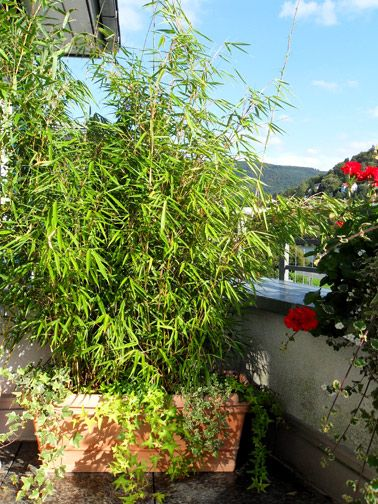 hardy kinds of bamboo that we can keep in a pot Haus und
