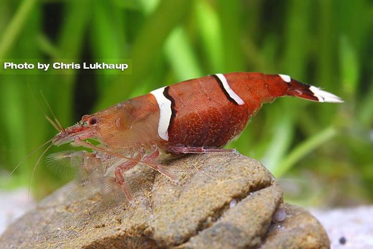 New species of Taiwanese bamboo shrimp