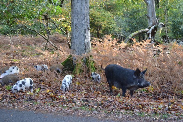 New Forest pigs out for Pannage - acorn eating to prevent the New Forest ponies becoming poisoned