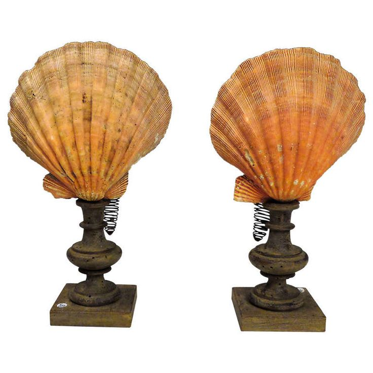 A Natural Specimen: A Pair of Mediterranean Scallop Shells (Pecten Jacobeaus)   From a unique collection of antique and modern decorative objects at https://www.1stdibs.com/furniture/more-furniture-collectibles/decorative-objects/