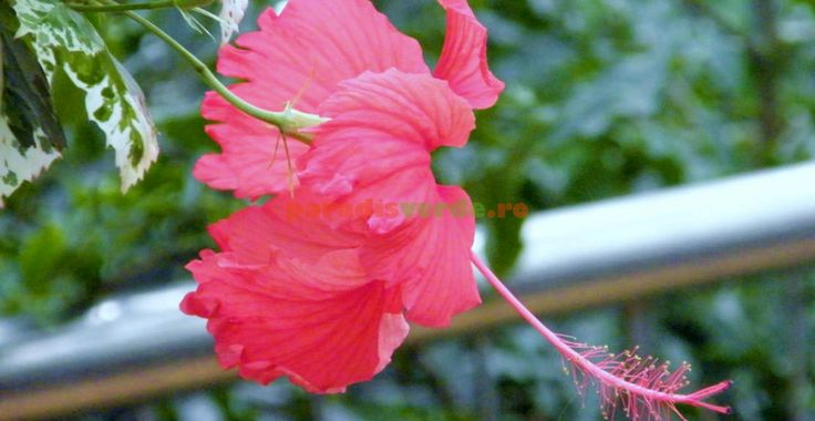 Hibiscus, Trandafirul chinezesc | Paradis Verde