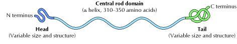 Structure of intermediate filament proteins.