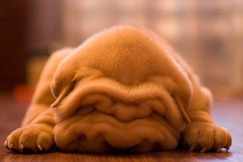 smushed face!! this is way too adorable, i want. this. dog.