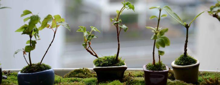 17 meilleures id es propos de plants de lierre sur pinterest lierre grimpant plantes d. Black Bedroom Furniture Sets. Home Design Ideas