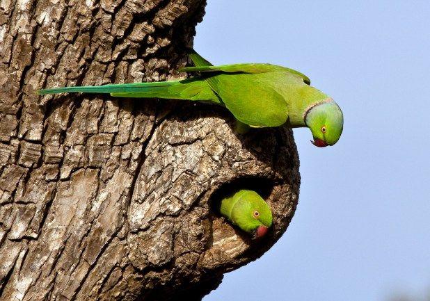 ببغاء الدرة المطوقة او الباراكيت الاخضر موضوع شامل عن هذا الطائر المتكلم طيور العرب Mauritius Island Mauritius Parakeet