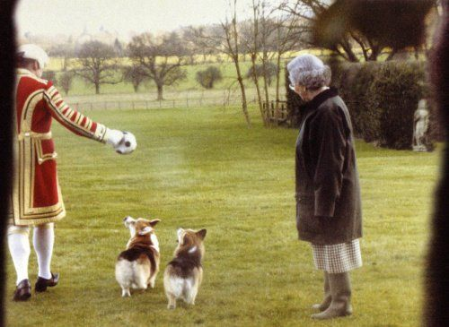 Entertaining the Queen's Corgis while she looks on! Hilarious, I need this dog walker!