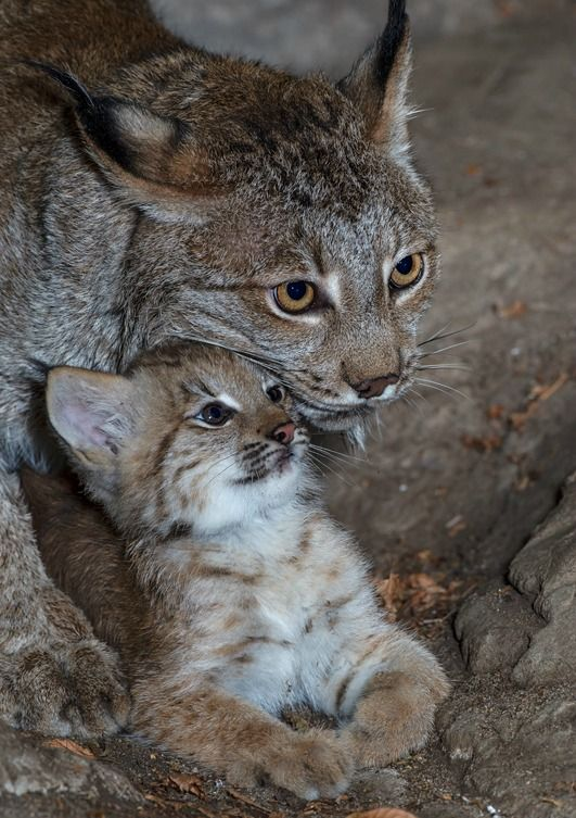 Mom keeps a watchful eye on her little Lynx cub at Biodome Montreal.: Big Cat, Baby Lynx, Mothers, Beautiful,  Catamount, Lynx Cubs, Babylynx, Peanut Butter, Animal
