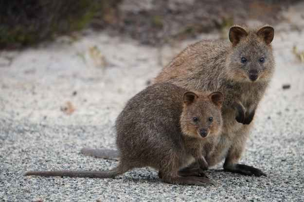 Quokka | 15 Animals You Wish You Could Keep As A Pet