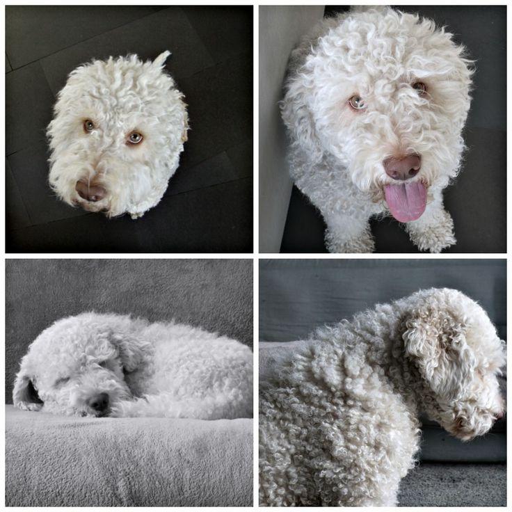 Lagotto Truffle Dogs: 48 Best Lagotto Romagnolo Images On Pinterest